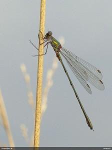 Zaļā zaigspāre Chalcolestes viridis. Foto: Andris Dekants