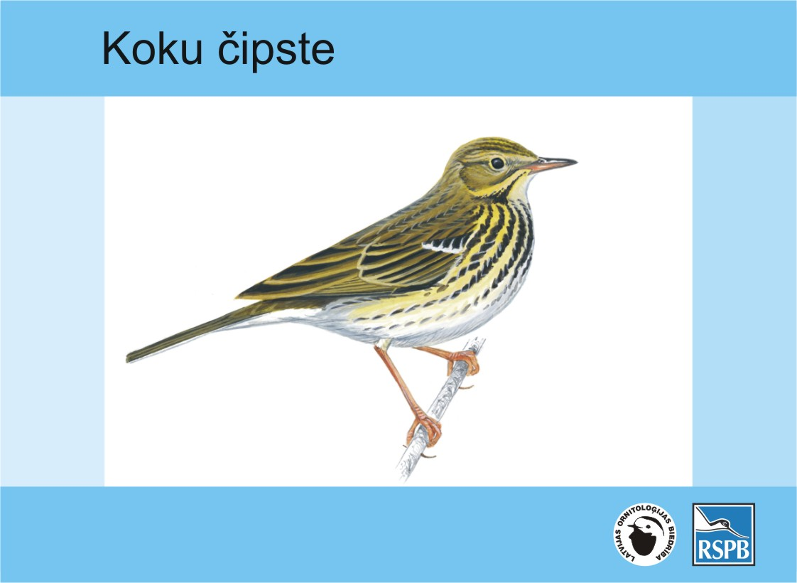 koku_cipste